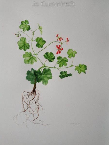 Geranium Ivy